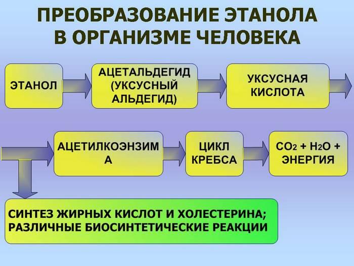 процесс усвоения алкоголя организмом человека