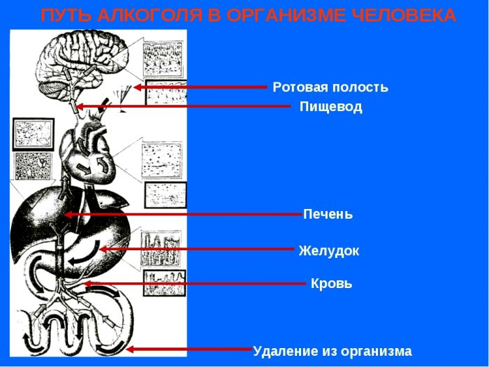 принцип действия алкоголя в организме человека