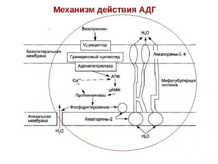 алкоголь-дегидрогеназа