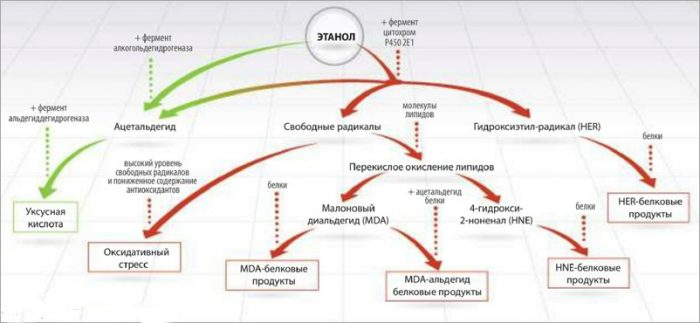 схема расщепления этанола в крови человека
